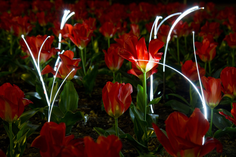 growing_light__tulips_3